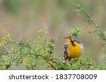 Yellow Throated Longclaw ...