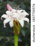 Small photo of Mrs. James Hendry crinum lily (Crinum 'Mrs. James Hendry'). Hybrid between Crinum x digwidii and Crinum x scabrum