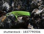 Western Green Lizard Sits In A...