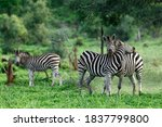 Two Zebra Stallions Engage Int...