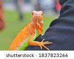 Beautiful Color Iguana  Iguana...