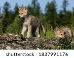 Wolf Pups  In Usa  North America