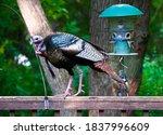 USA, Minnesota, Mendota Heights, Mohican Lane, Urban Wild Turkey