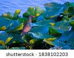 Usa  Florida  Sarasota  Celery...