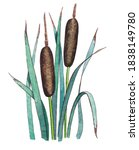 Cattail Plant Isolated On White ...