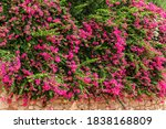 Summer Flowers Bougainvillea O...