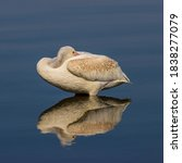 American White Pelican Perched...