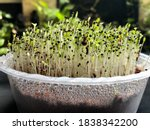 Green Spinach Seed Growth From...
