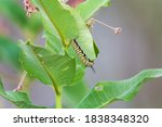 A monarch caterpillar feeds on milkweed leaves in the Shiawassee Federal Nature Preserve, near Saginaw, Michigan.