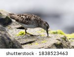 A Least Sandpiper On A Rock By...