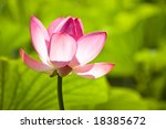 pink water lilly flower on green with shallow depth of field - stock photo