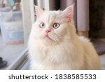 persian doll face chinchilla...   Shutterstock . vector #1838585533