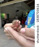 Hands Holding A Docile Lizard...