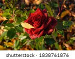 Beautiful Red Rose Covered With ...