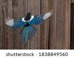 Black Billed Magpie In Flight...