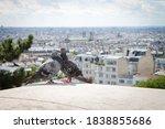 Pigeons Captured In Montmartre...