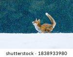 Fox In Snowfall. Red Fox ...