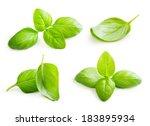 Basil Leaves Spice Closeup...