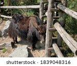Small photo of Domestic yak (Bos grunniens or Bos mutus f. grunniens), Domesticated yak, Yack, Hausyak or Jak - The Zoo Zurich (Zuerich or Zurich), Switzerland / Schweiz