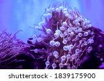 Bubble Tip Anemone  Entacmaea...