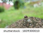 Large White Mollusk Snails Wit...