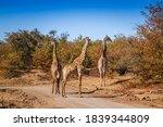 Three Giraffes On Safari Gravel ...