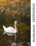 Swan Swims On The Mirror...