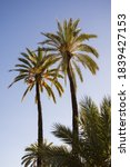 Two Date Palms In A Palm...