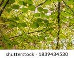 Common Linden Tree Green...