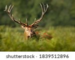 Close Up Of A Red Deer Stag...