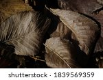 Dried Brown Leaves. Close Up....