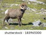 big horn sheep ovis canadensis...