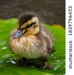 Very Cute Duckling On Lilypad
