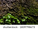 Small Plant  Green Moss On...
