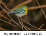 A Male Northern Parula Is...