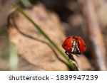 The Ladybug Stands With Its...
