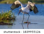 Wood Stork With Wings Spread ...