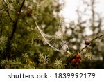 Red Berries And Dewy Spiderweb...