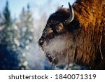 Bison  Bison  In The Wild  In...