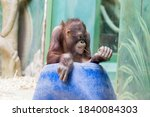 Funny Young Orangutan With A...