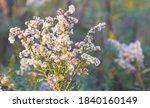 Dry Wild Flowers In The Field...