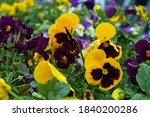 Yellow Pansies Flowers After...
