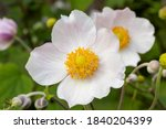 Small photo of Close up of white windflower, Anemone 'Wild Swan'. Bright yellow centre with pale pink tinged petals. Focus on foreground bloom. Blurred background.