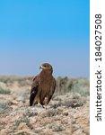 Steppe Eagle  Aquila Nipalensi...