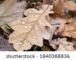 Top View Of Dried Oak Leaf With ...