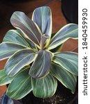 hanjuang or andong plants or...   Shutterstock . vector #1840459930