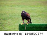 Small photo of A portrait of a harris's hawk parched on a falconry prop during a falconry birdshow. The bird, also known as a desert or dusky hawk is looking around and has a wire around its paw.