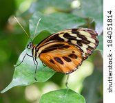 Large Tiger Butterfly  Lycorea...