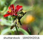 Large Grasshopper Hiding Under...