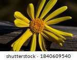 Daisy With Yellow Petals And...